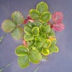 Strawberry Plant infected with virus