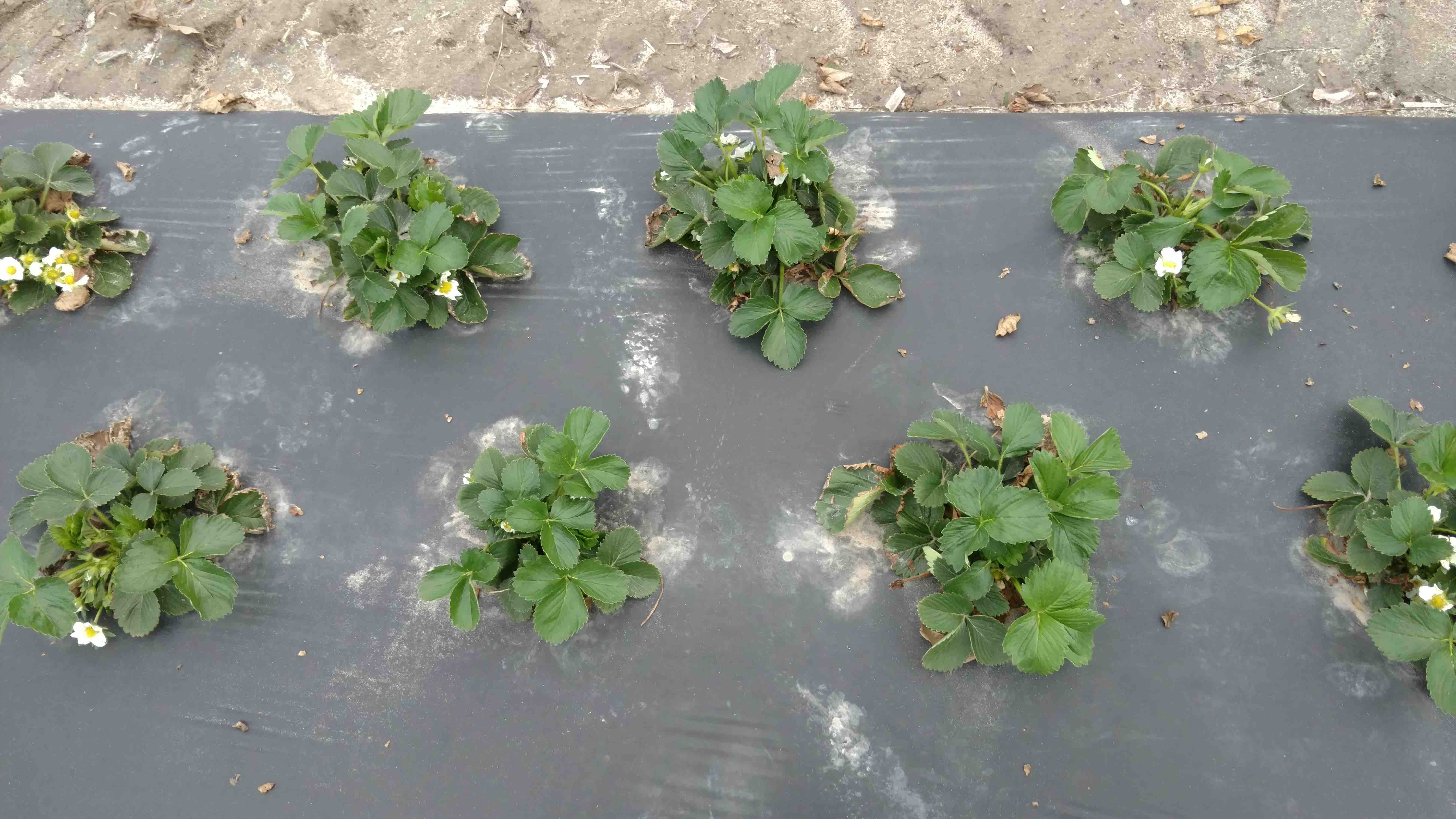 strawberry plants in rows