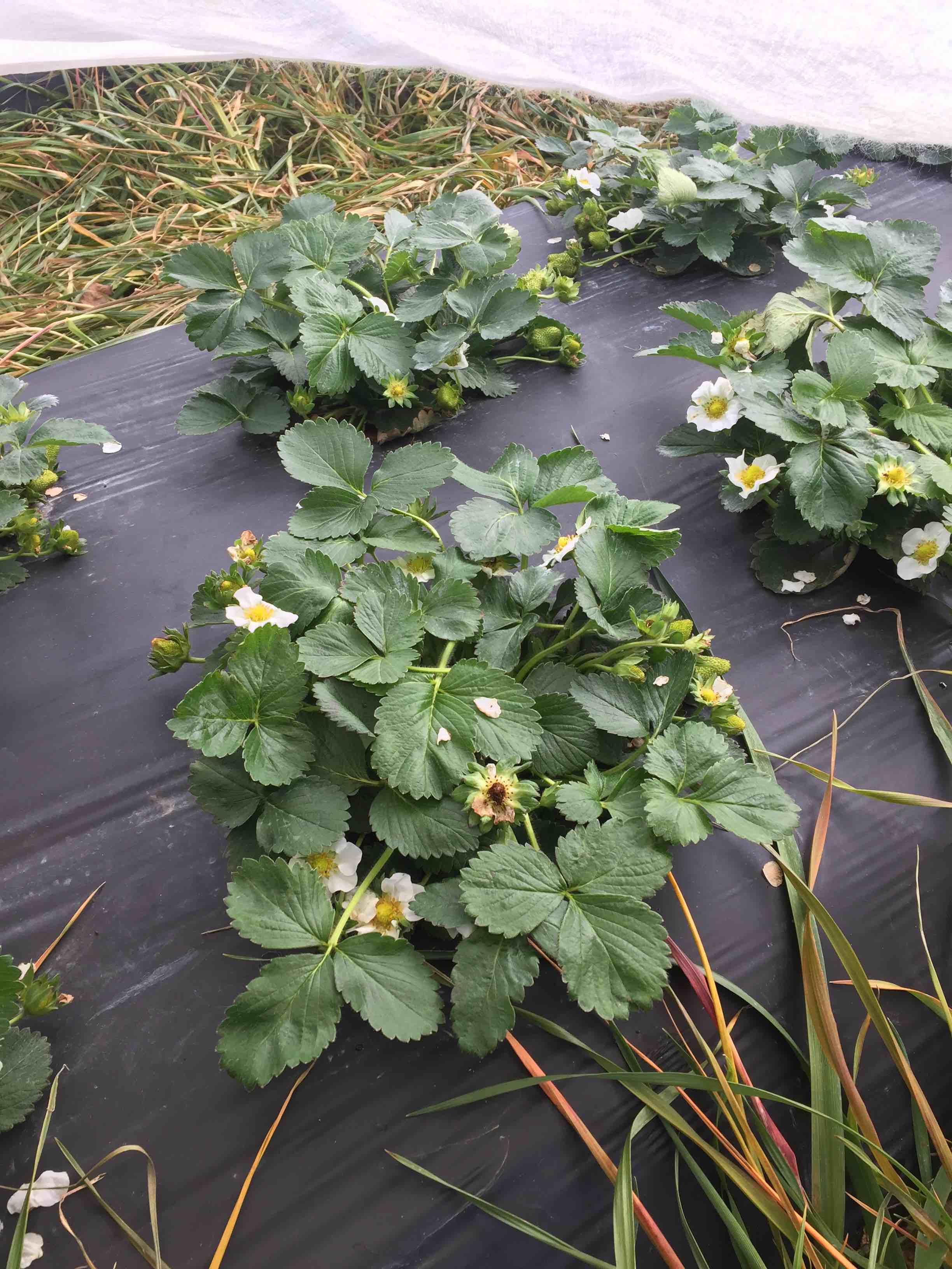 blooming strawberry plants