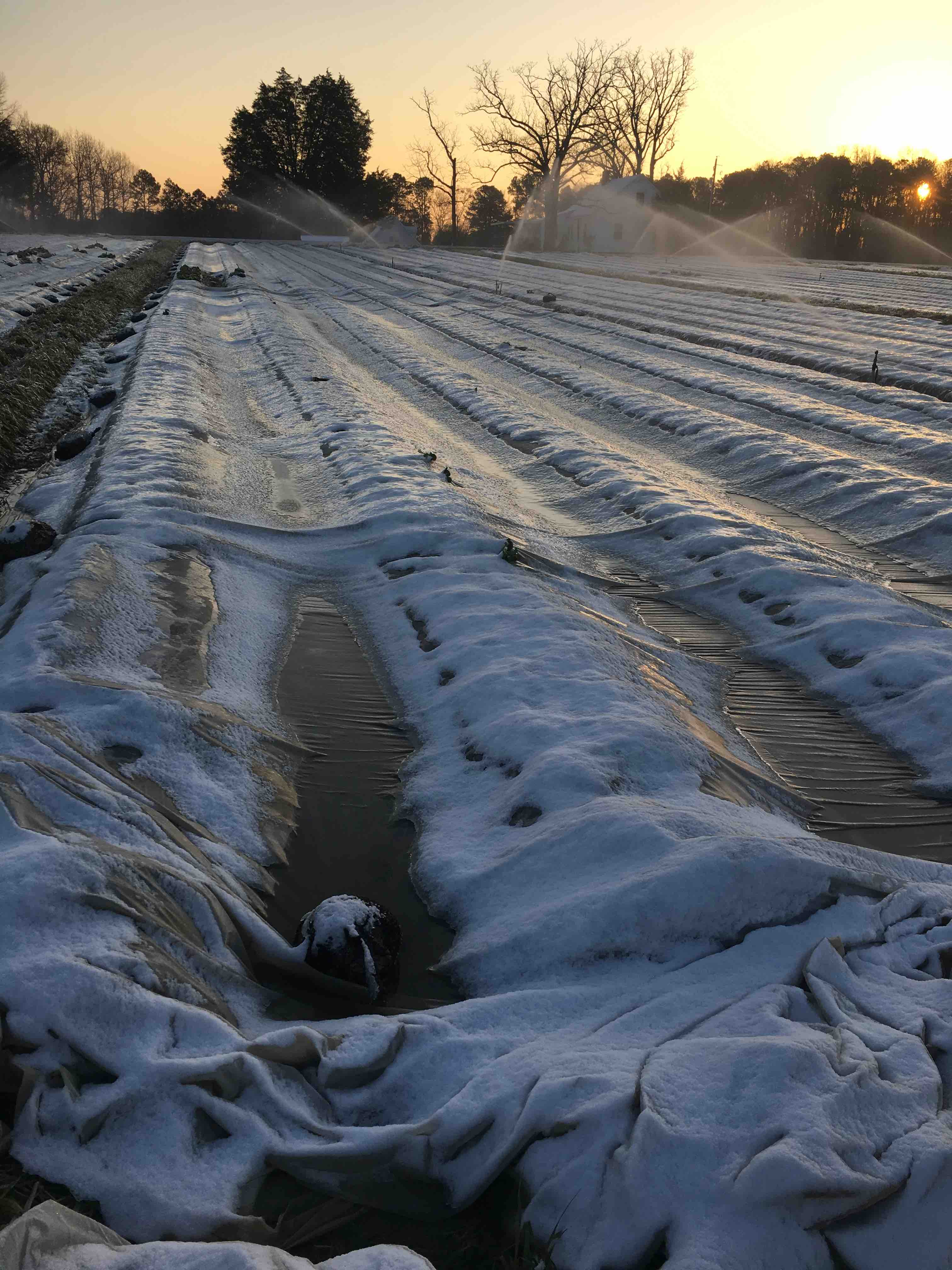snow on covered rows