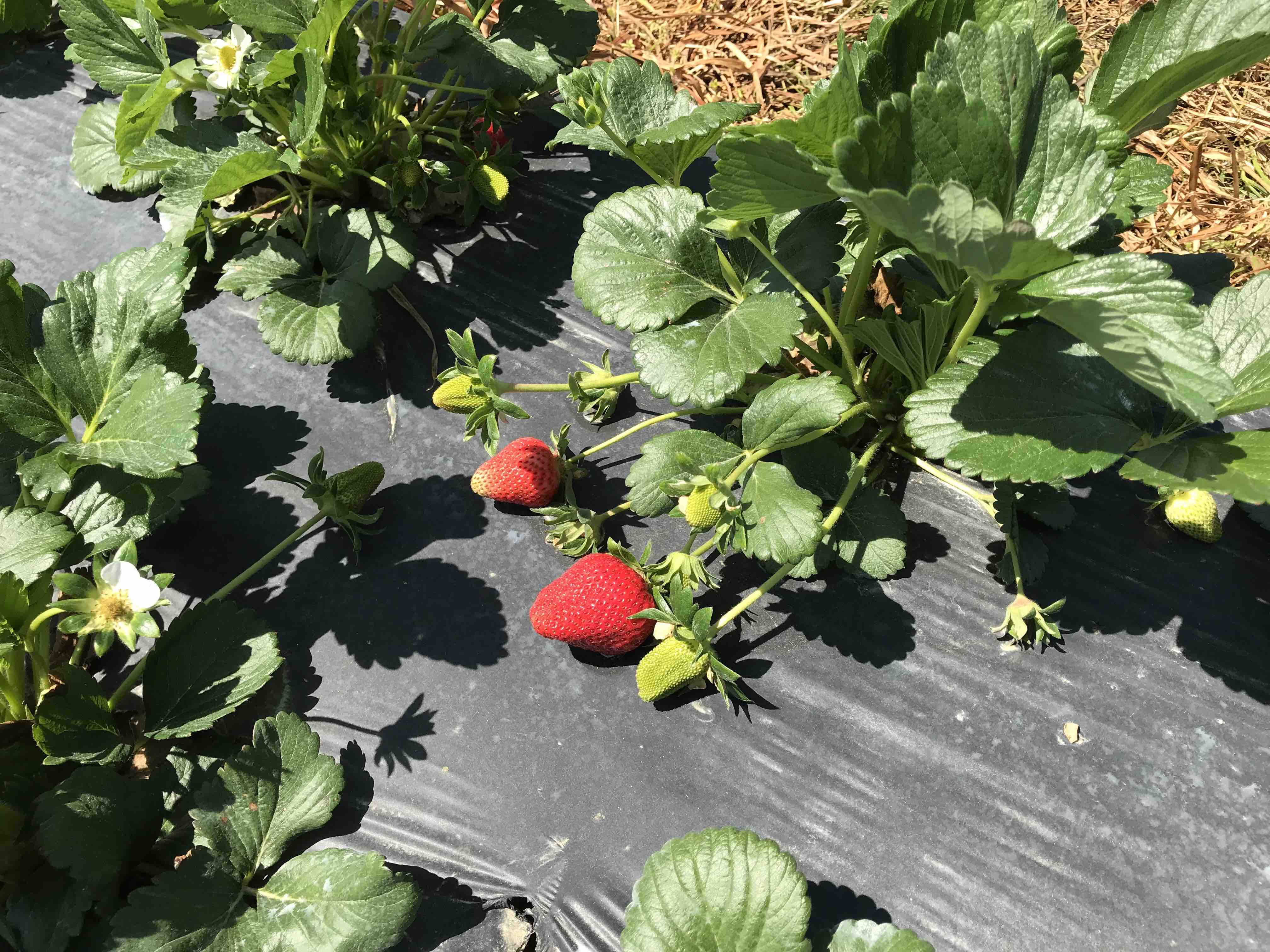 strawberry plants with fruit