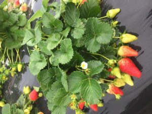 Cover photo for NCSU Strawberry Breeding Program on NCSU Homegrown