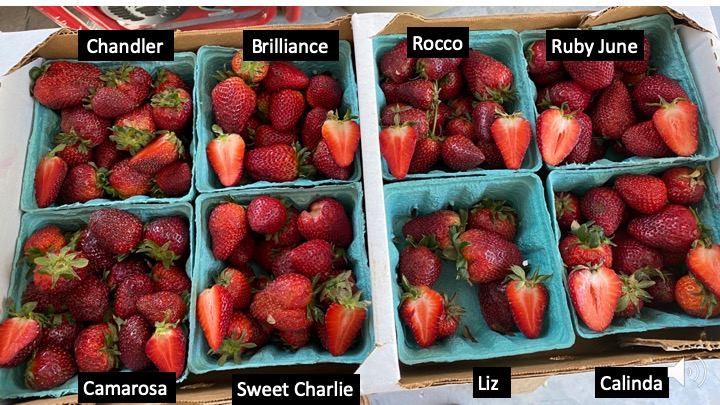 fruit from eight strawberry varieties