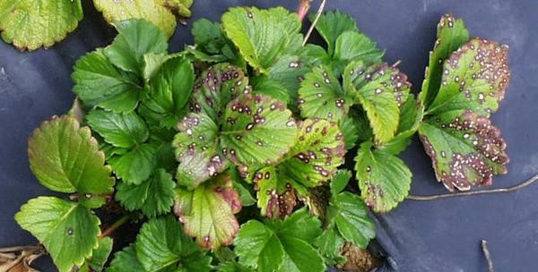 Common leaf spot symptoms