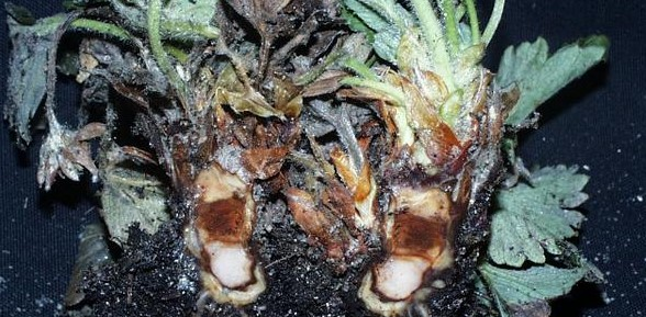 Phytophthora cactorum