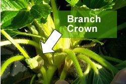 Branch crown