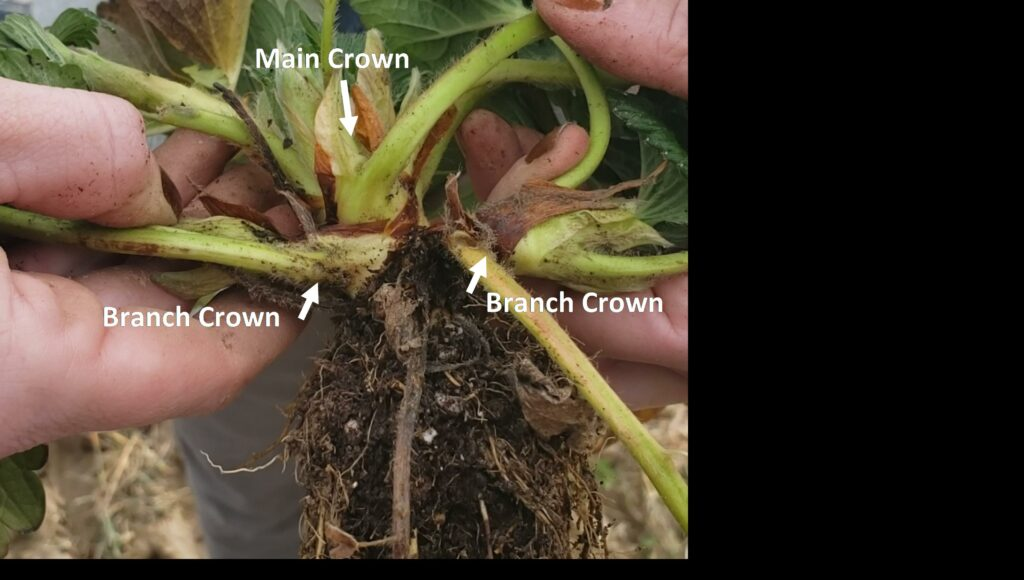 Strawberry plant dug up with main and branch crowns separated